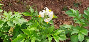 Fleurs de patates