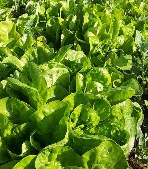 salades-sucrine
